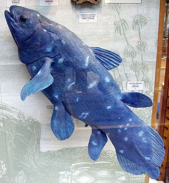 556px-Coelacanth1