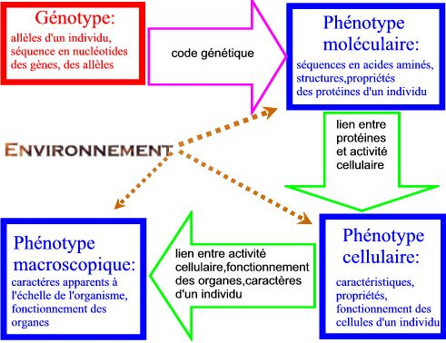 difference between genotype and phenotype pdf